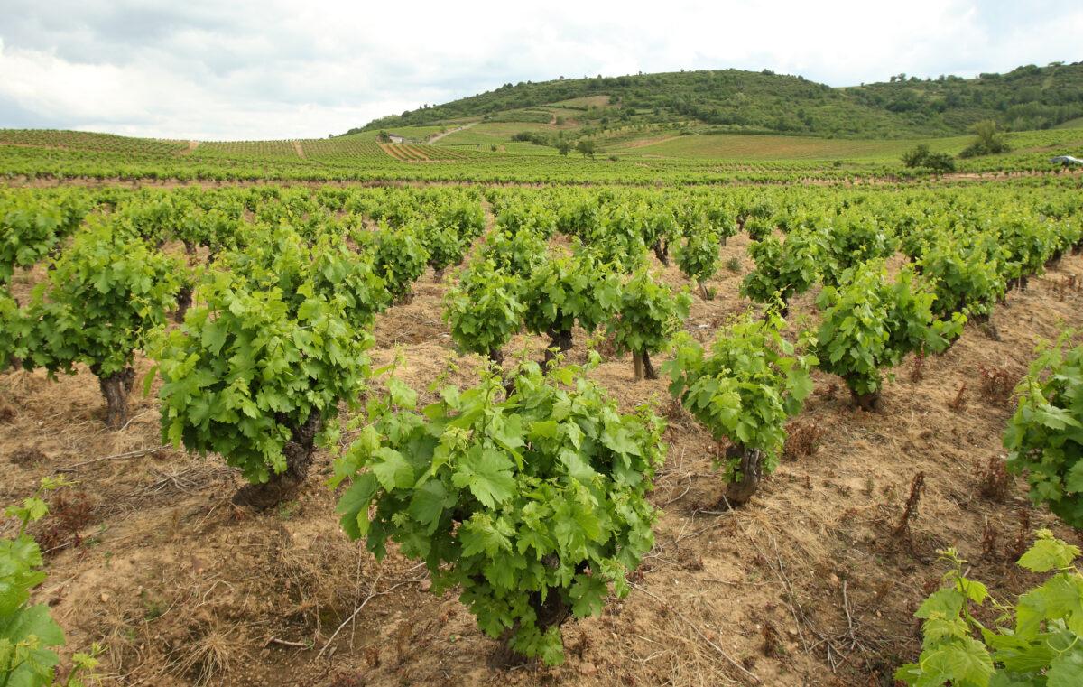 clasificacion del viñedo